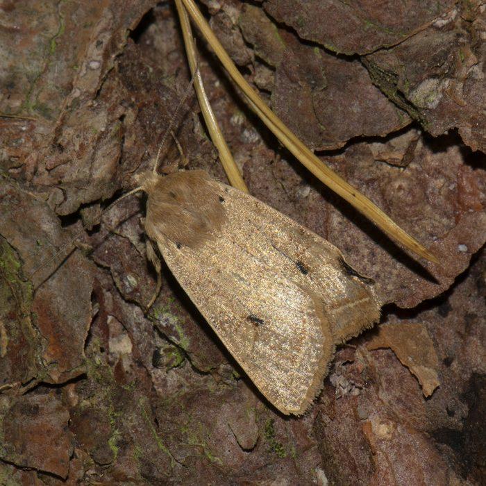 Gelbbraune Herbsteule (Agrochola macilenta) auf Holz