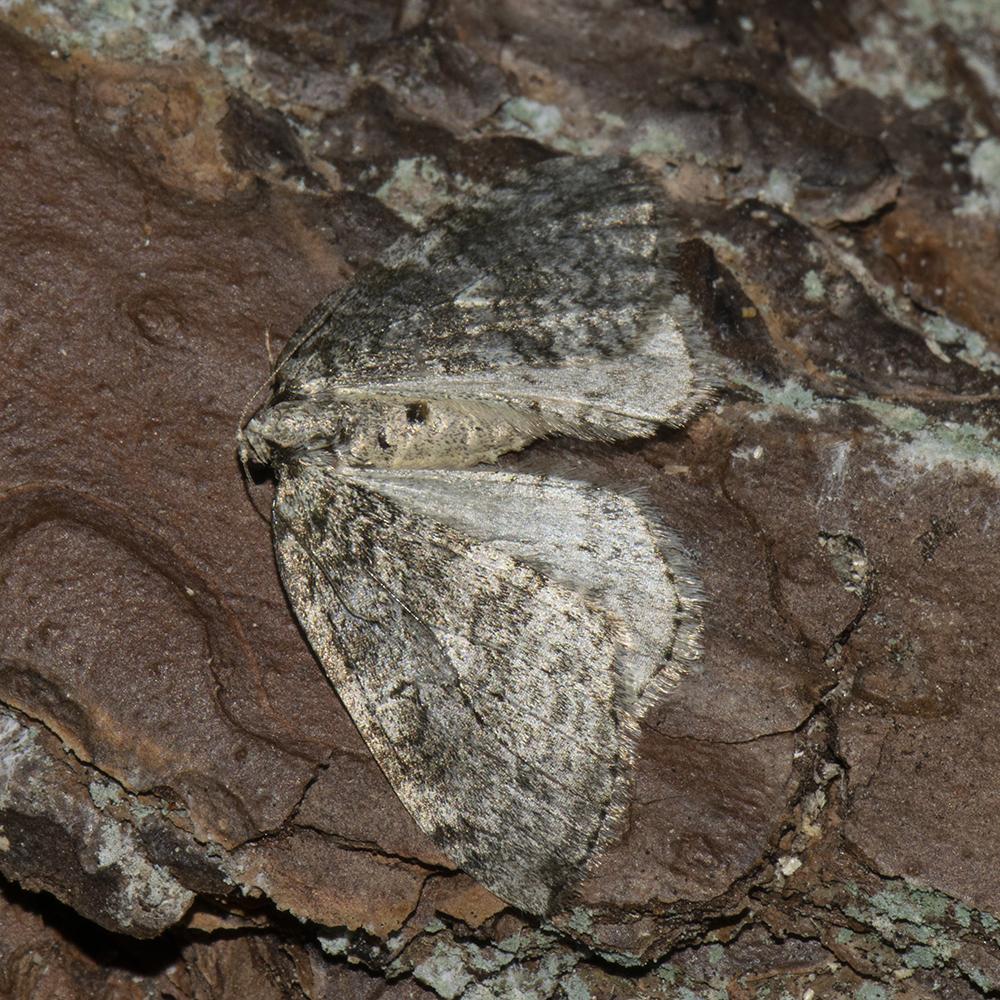 Gehölzflur-Herbstspanner (Epirrita dilutata) auf Holz