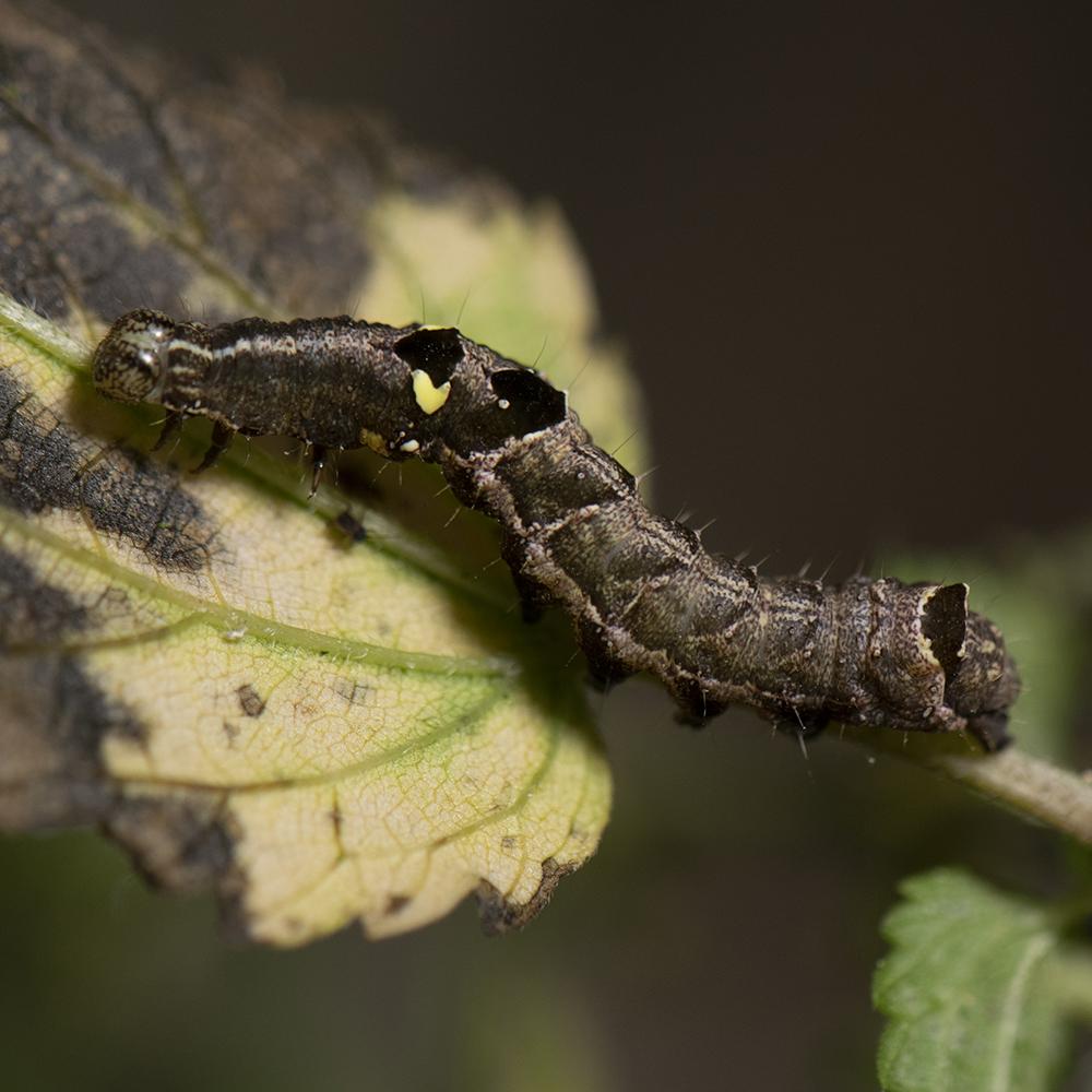 Dunkelgraue Nessel-Höckereule (Abrostola triplasia) Raupe auf Brennnessel