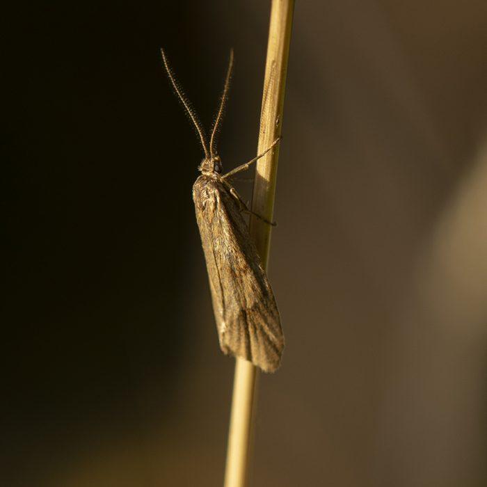 Herbst-Buchenmotte (Diurnea lipsiella) auf Gras