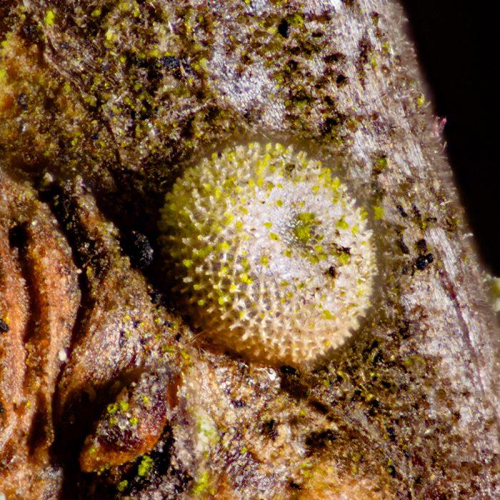 Pflaumen-Zipfelfalter (Satyrium pruni) Ei auf Schlehe