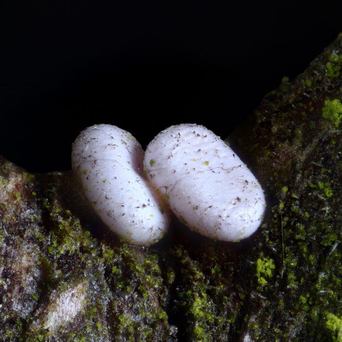 Milchweißer Bindenspanner (Plemyria rubiginata) Ei auf Schlehe