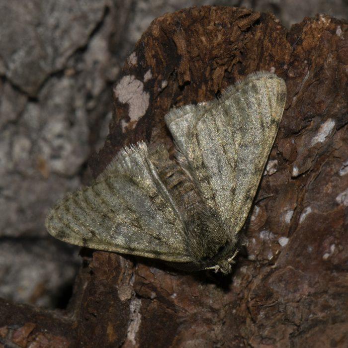 Schneespanner (Phigalia pilosaria) auf Holz