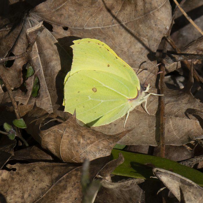 Zitronenfalter (Gonepteryx rhamni) am Waldrand