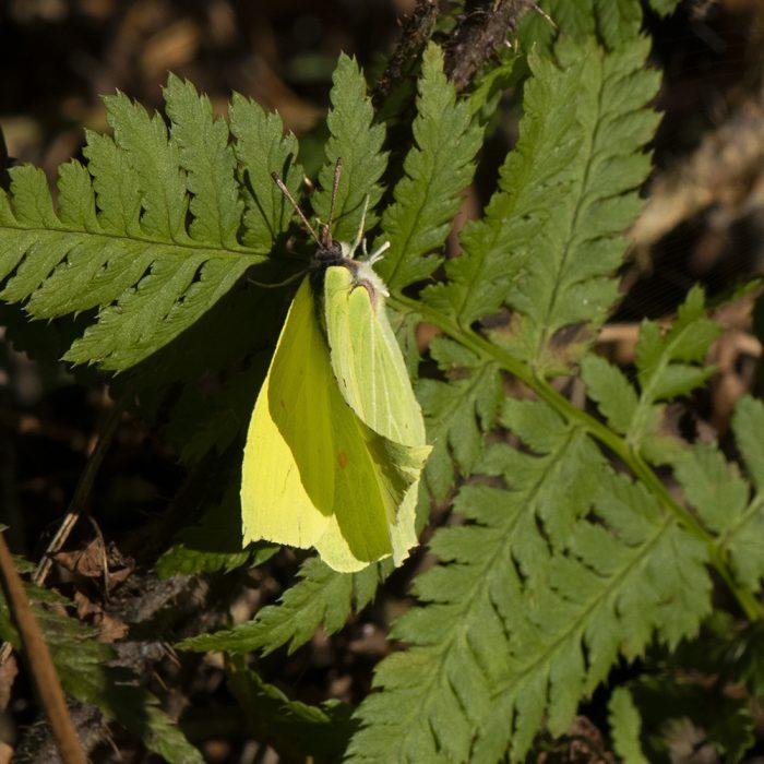 Zitronenfalter (Gonepteryx rhamni) auf Farn