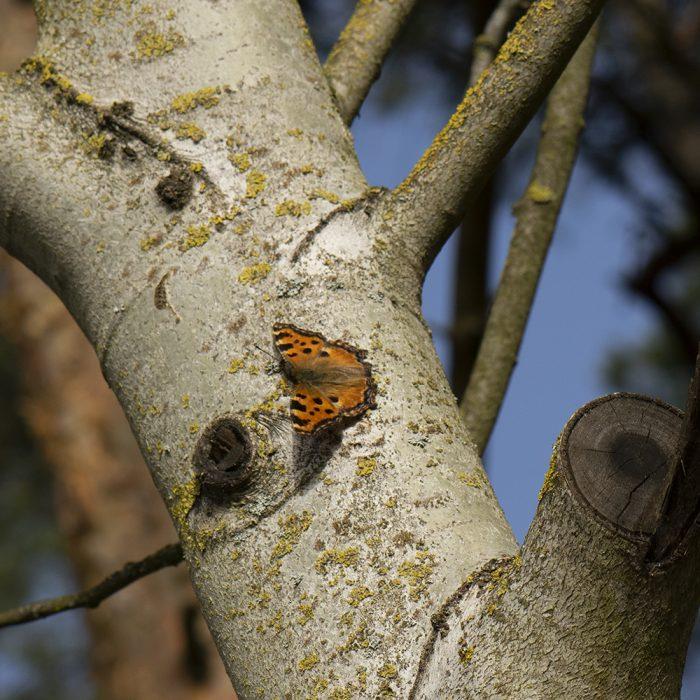 Großer Fuchs (Nymphalis polychloros) auf Baum