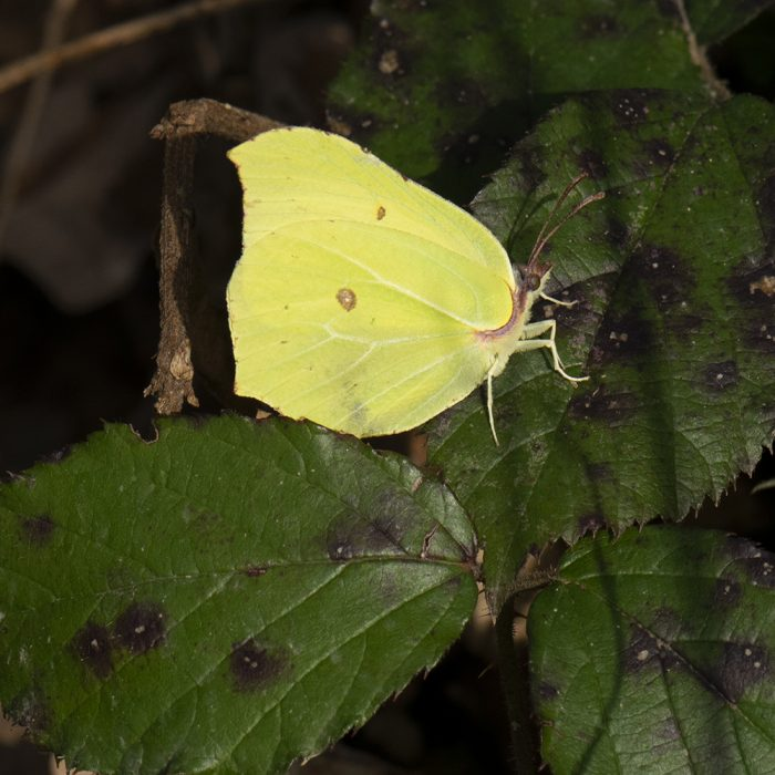 Zitronenfalter (Gonepteryx rhamni) auf Brombeere