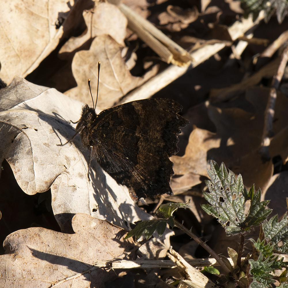 Großer Fuchs (Nymphalis polychloros) auf Wiese