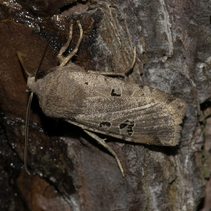Feldholz-Wintereule (Conistra rubiginosa) auf Kiefer
