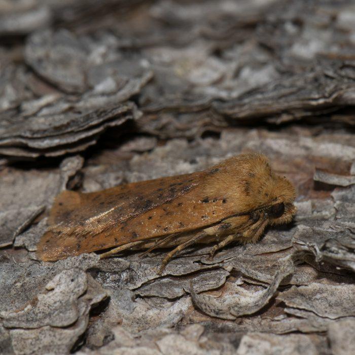 Rost-Wintereule (Conistra rubiginea) auf Kiefer