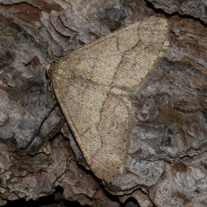 Graugelber Breitflügelspanner (Agriopis marginaria) auf Kiefer
