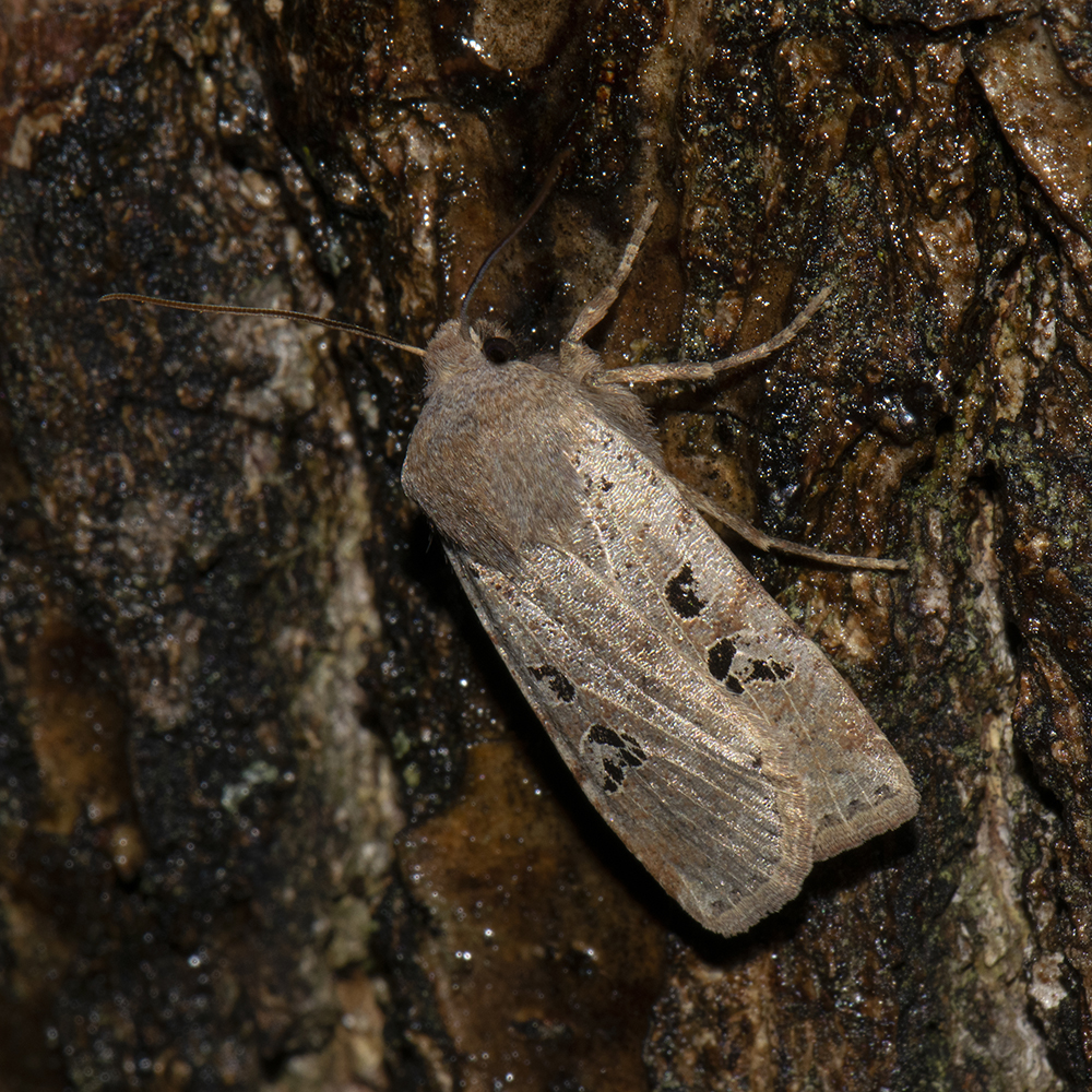 Feldholz-Wintereule (Conistra rubiginosa) auf Eiche