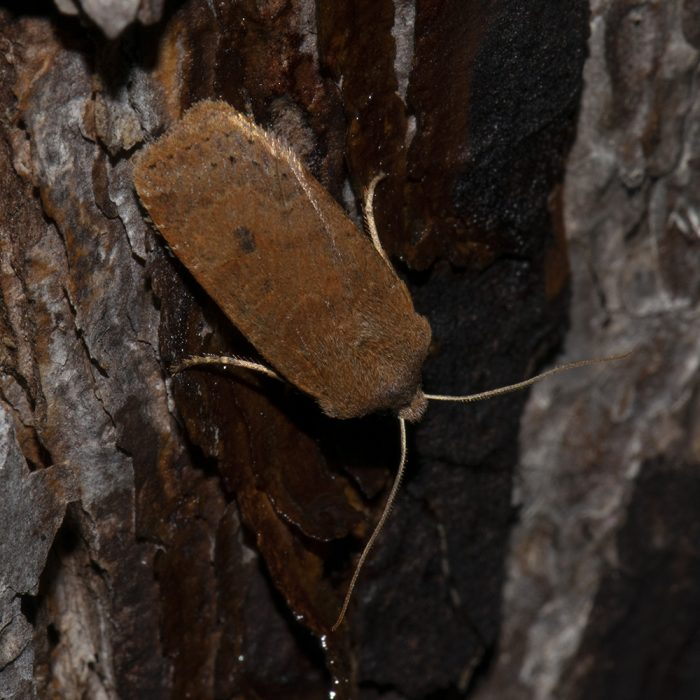 Heidelbeer-Wintereule (Conistra vaccinii) auf Kiefer