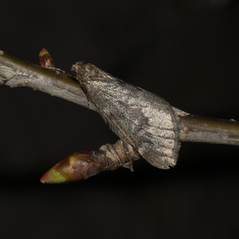 Frühlings-Kreuzflügel (Alsophila aescularia) auf Kirsche