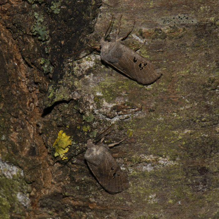 Feldholz-Wintereule (Conistra rubiginosa) auf Kirsche