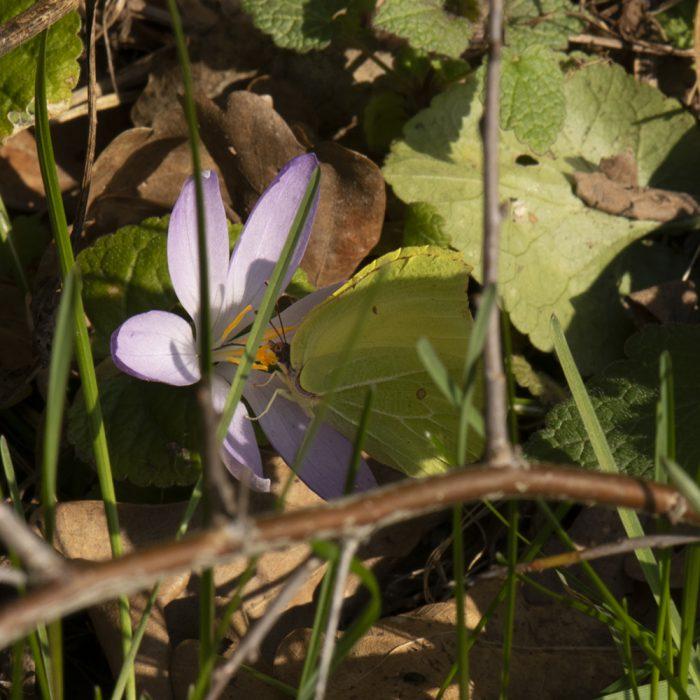 Zitronenfalter (Gonepteryx rhamni) auf Krokus