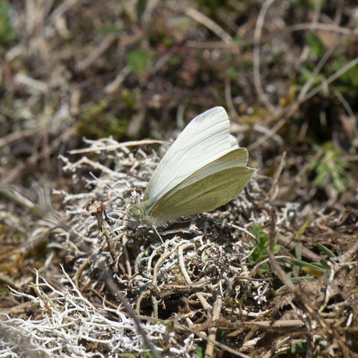 Kleiner Kohlweißling (Pieris rapae) auf Wiese