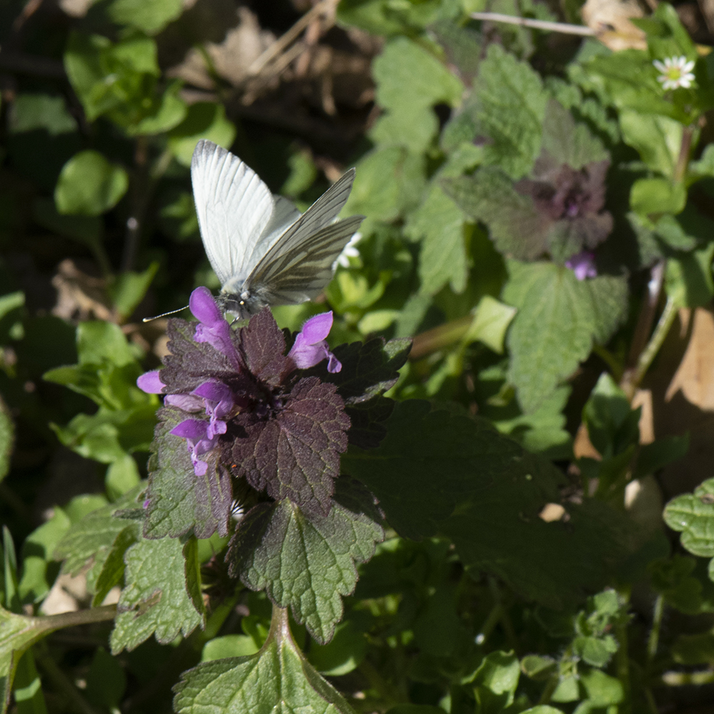 Grünader-Weißling (Pieris napi) auf Taubnessel