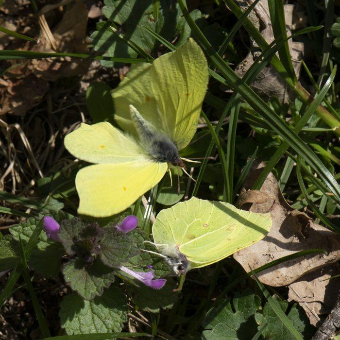 Zitronenfalter (Gonepteryx rhamni) auf Taubnessel