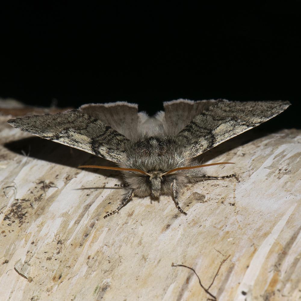 Gelbhorn-Eulenspinner (Achlya flavicornis) auf Birke