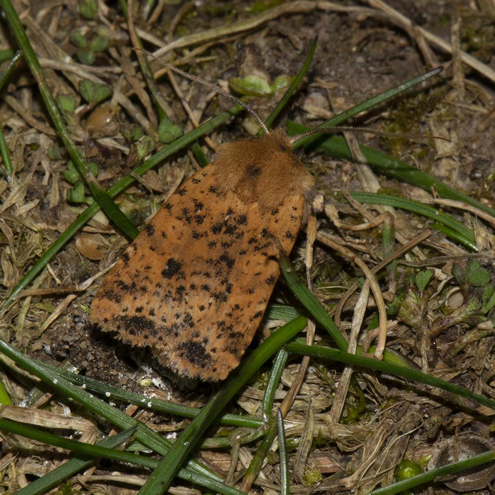 Rost-Wintereule (Conistra rubiginea) auf Wiese