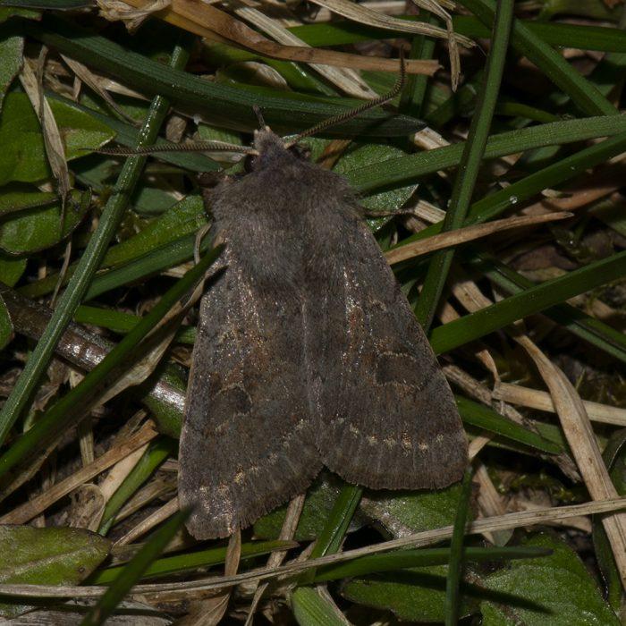 Pappel-Kätzcheneule (Orthosia populetti) auf Gras
