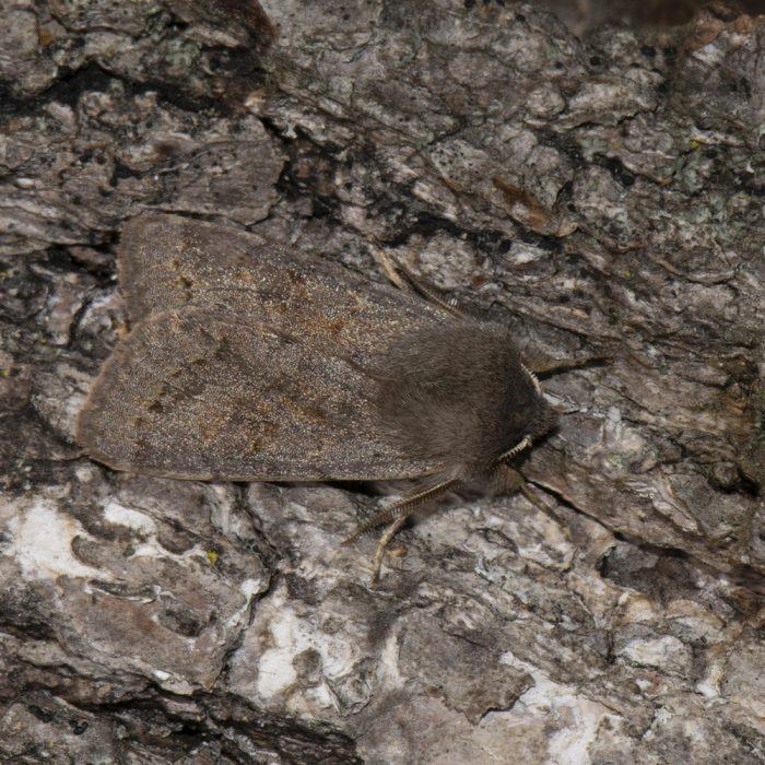 Pappel-Kätzcheneule (Orthosia populetti) auf Holz