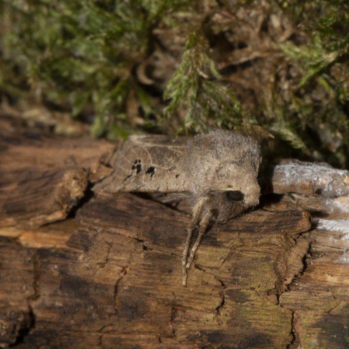 Feldholz-Wintereule (Conistra rubiginosa) auf Holz