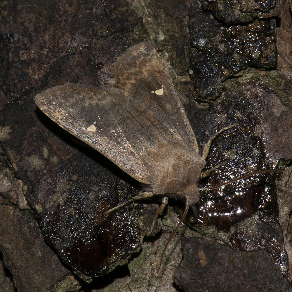 Satellit-Wintereule (Eupsilia transversa) auf Kiefer