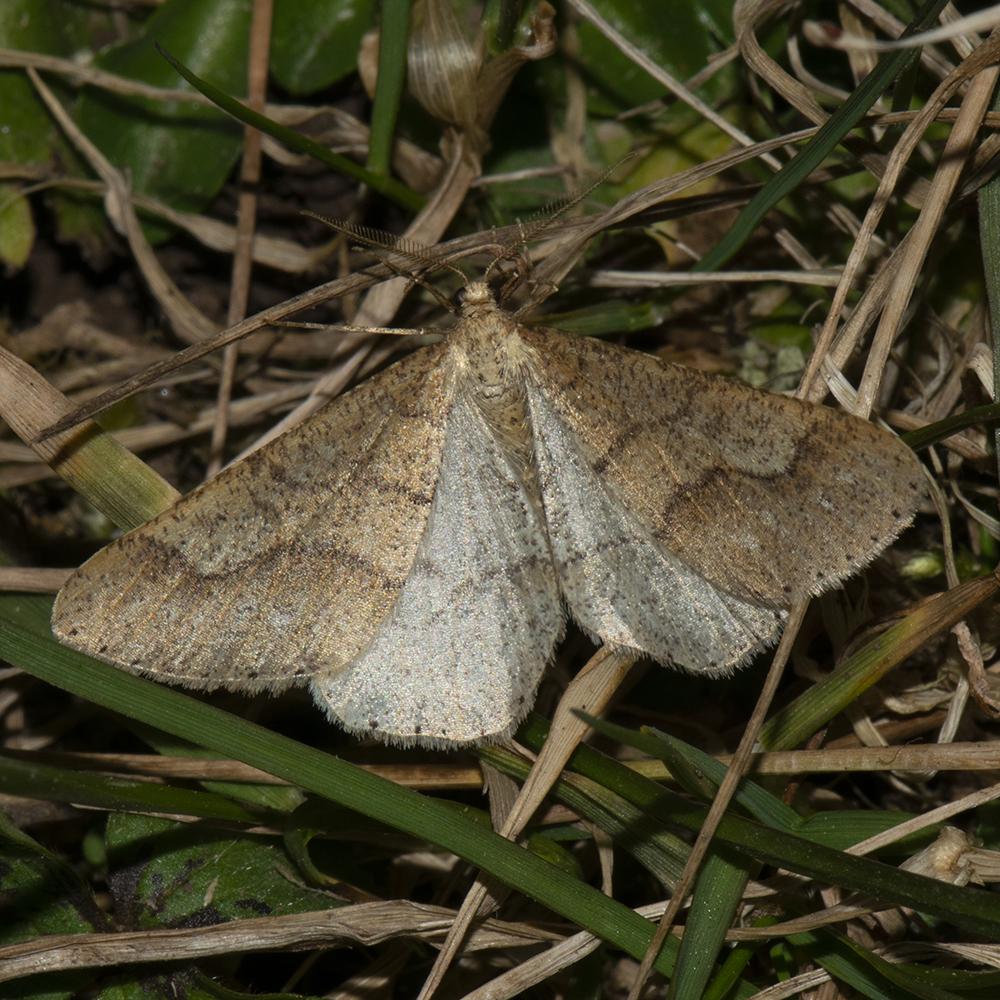 Graugelber Breitflügelspanner (Agriopis marginaria) auf Wiese