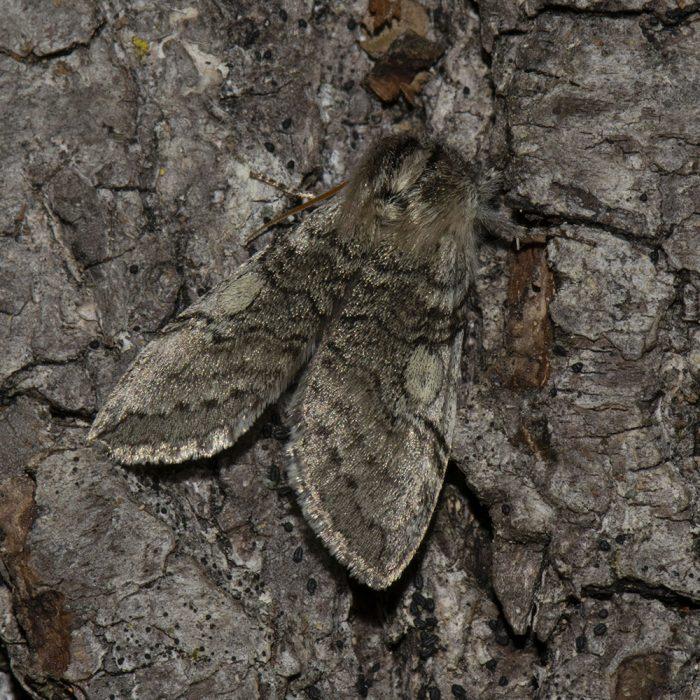 Gelbhorn-Eulenspinner (Achlya flavicornis) auf Kiefer