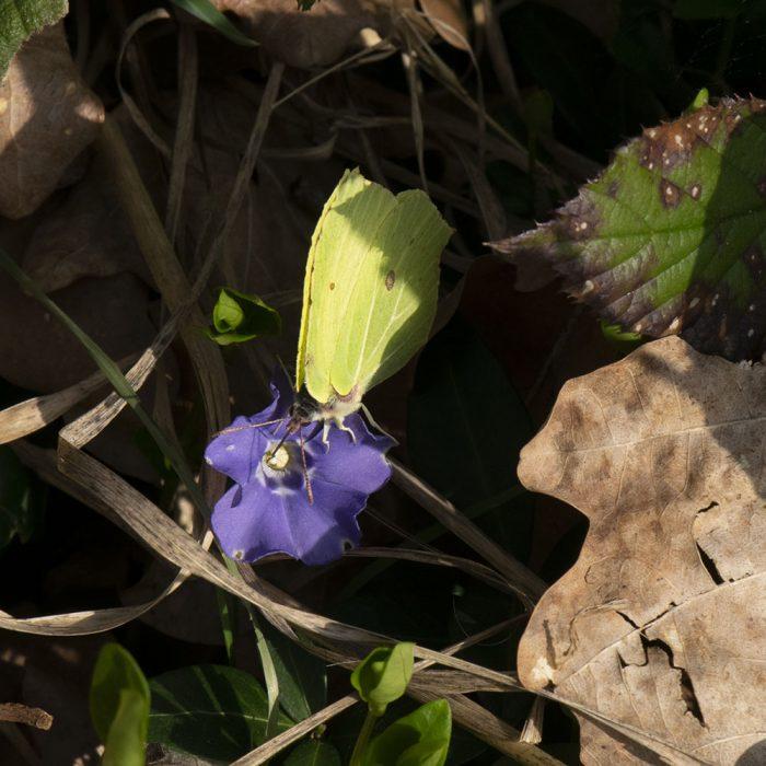 Zitronenfalter (Gonepteryx rhamni) auf Immergrün