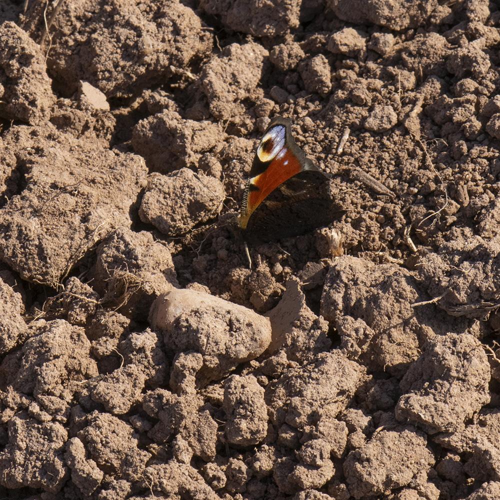 Tagpfauenauge (Aglais io) am Waldrand