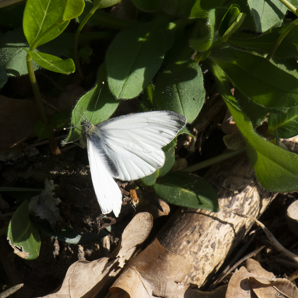 Grünader-Weißling (Pieris napi) auf Wiese