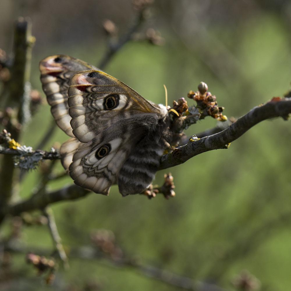 Kleines Nachtpfauenauge (Saturnia pavonia) auf Schlehe