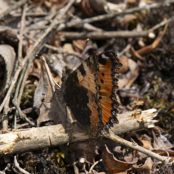 Kleiner Fuchs (Aglais urticae) auf Wiese