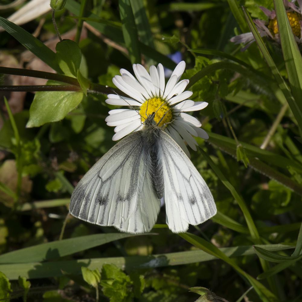 Grünader-Weißling (Pieris napi) auf Gänseblümchen