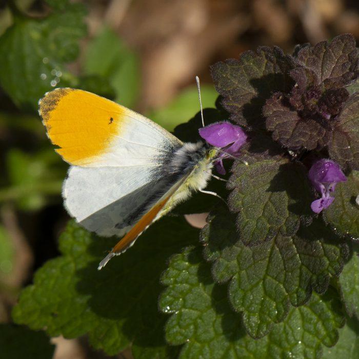 Aurorafalter (Anthocharis cardamines) auf Taubnessel