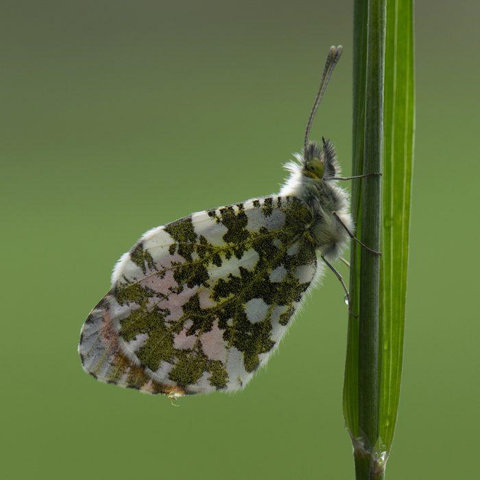 Aurorafalter (Anthocharis cardamines) auf Gras