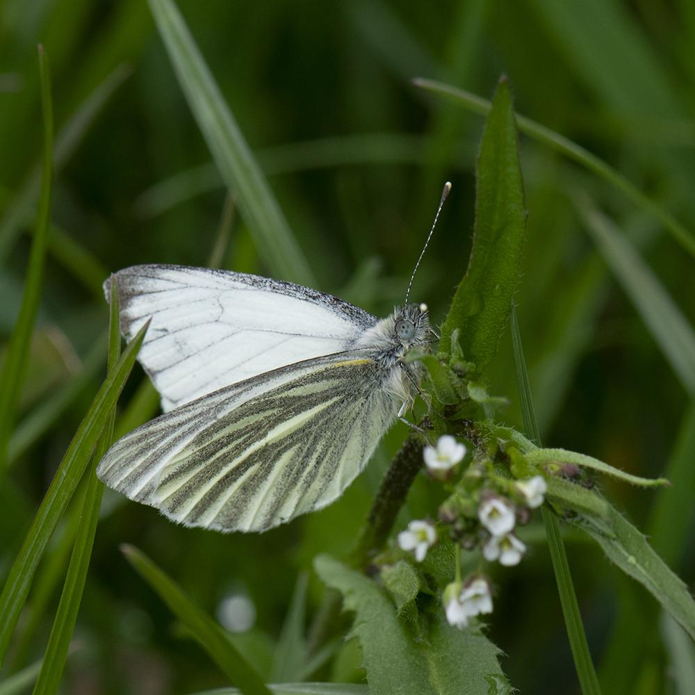 Grünader-Weißling (Pieris napi) auf Hirtentäschel