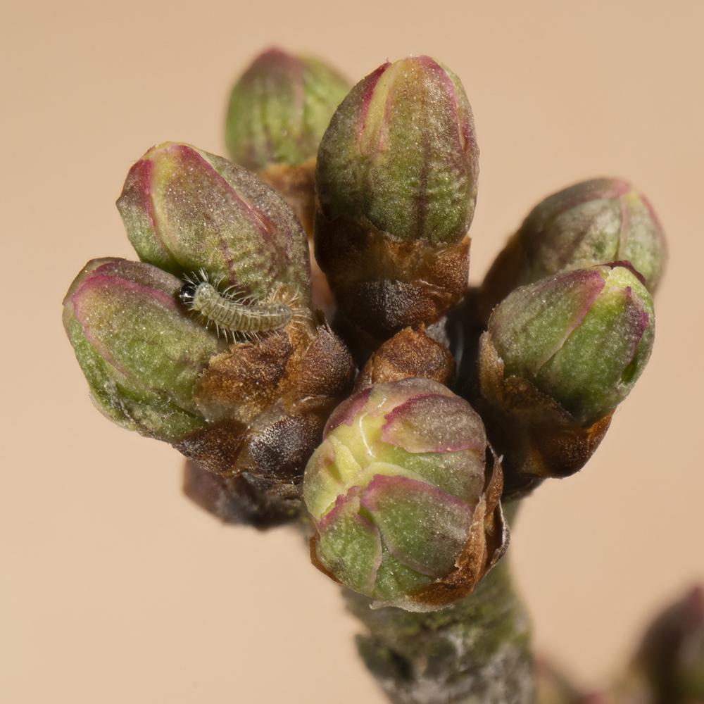 Nierenfleck-Zipfelfalter (Thecla betulae) Raupe auf Schlehe