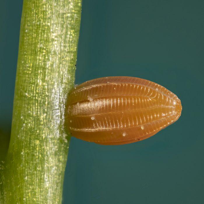 Aurorafalter (Anthocharis cardamines) Ei auf Wiesenschaumkraut