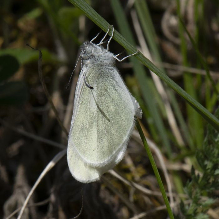Tintenfleck-Weißling (Leptidea juvernica/sinapis) auf Gras