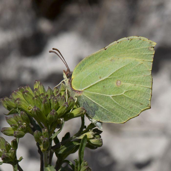 Zitronenfalter (Gonepteryx rhamni) auf Wildblume