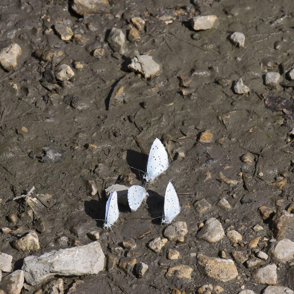 Faulbaum-Bläuling (Celastrina argiolus) auf Boden