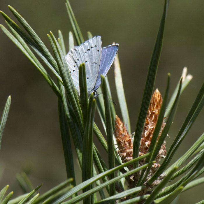 Faulbaum-Bläuling (Celastrina argiolus) auf Nadelgehölz