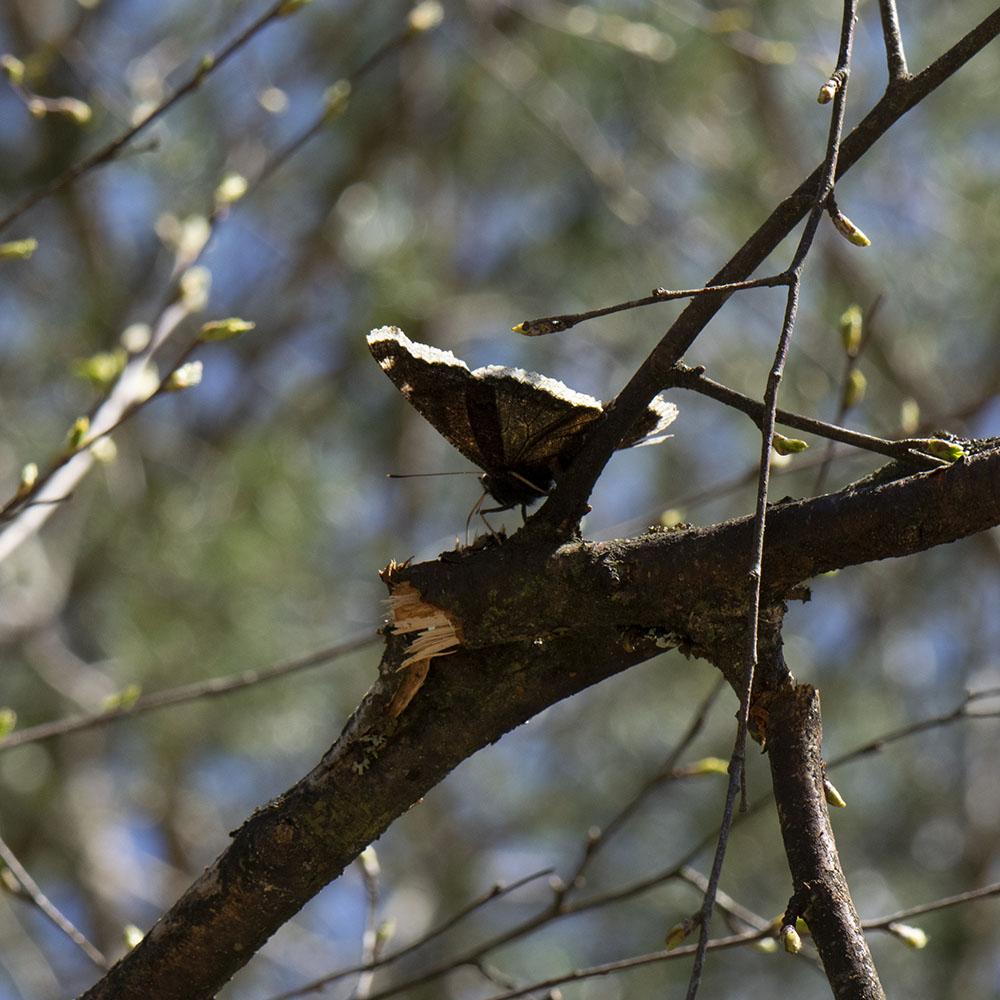 Trauermantel (Nymphalis antiopa) auf Baum