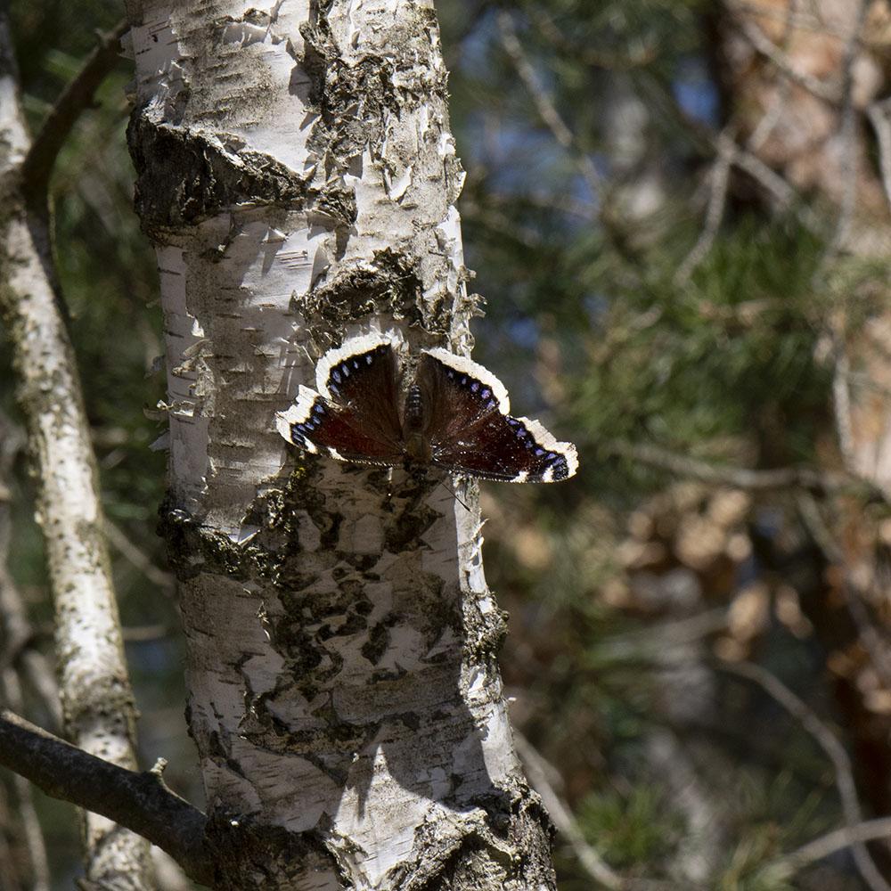 Trauermantel (Nymphalis antiopa) auf Birke