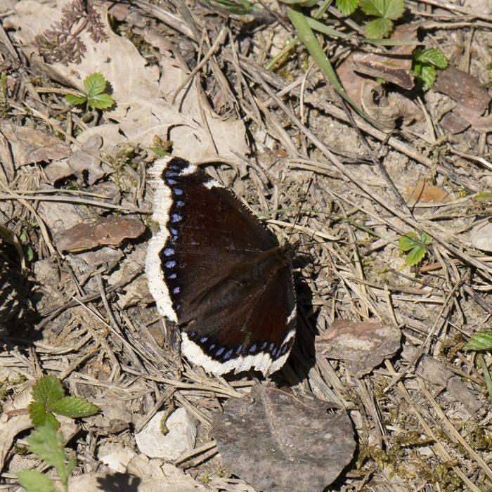 Trauermantel (Nymphalis antiopa) auf Boden