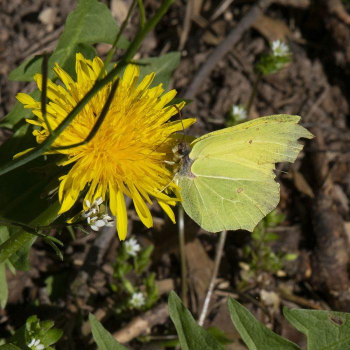 Zitronenfalter (Gonepteryx rhamni) auf Löwenzahn
